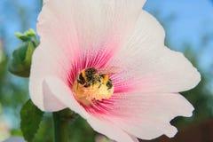 在锦葵属花的蜂 库存图片