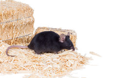 在锯木屑的黑老鼠 免版税库存照片