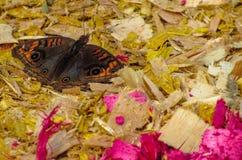 在锯木屑的蝴蝶 图库摄影
