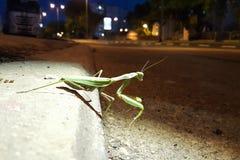 在镇夜街道上的绿色大螳螂 免版税图库摄影