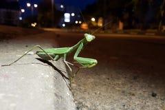 在镇夜街道上的绿色大螳螂 免版税库存图片