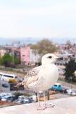 在镇的幼小海鸥 免版税库存图片