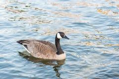 在镇静湖的唯一加拿大鹅游泳在春天特写镜头画象的日落的 库存图片
