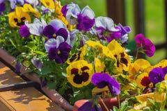 在镇` s花圃的多彩多姿的喇叭花 库存照片