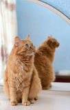 在镜子旁边的一只大姜猫 免版税图库摄影