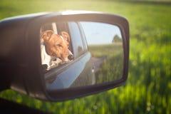 在镜子的狗 免版税库存图片