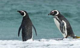 在镭期间,站立在海洋的两只Magellanic企鹅沿岸航行 免版税库存图片