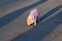 在镶边毛线衣的婴孩杏子微型猪走在土路的 免版税库存照片