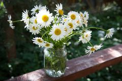 在长凳的春黄菊花 免版税图库摄影