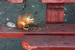 在长凳的灰鼠吃坚果的 免版税库存图片