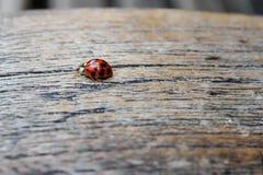 在长凳的瓢虫 免版税库存照片