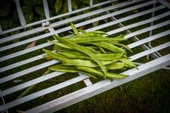 在长凳的红花菜豆 库存图片