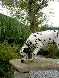 在长凳的达尔马希亚小狗姿势 免版税图库摄影