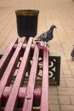 在长凳的鸽子在圣胡安 库存照片
