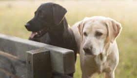 在长凳的Labradors 免版税图库摄影