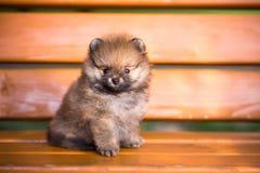 在长凳的Pomeranian小狗 免版税库存图片