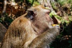 在长尾的短尾猿猴子猕猴属fasciculari头的细节  免版税库存照片