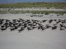 在长岛的美国蛎鹬 免版税库存图片