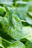在长春蔓叶子伪装的Katydid叶子臭虫 库存图片
