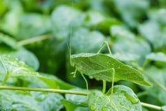 在长春蔓藤的一个Katydid叶子臭虫 库存图片