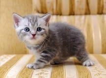 在长沙发的一只小白色和灰色苏格兰岩石小猫 免版税库存图片