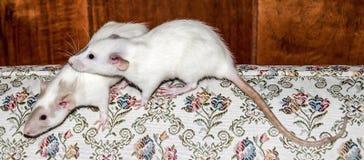 在长沙发的两只白色鼠 库存图片