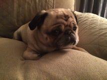 在长沙发的可爱的哈巴狗狗 库存照片