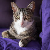 在长沙发的可爱的特写镜头猫画象 免版税库存照片