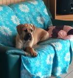 在长沙发的小狗 免版税库存图片