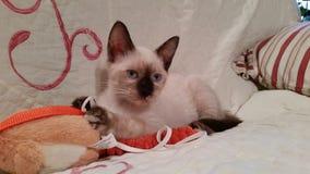 在长沙发的暹罗小猫 免版税库存图片