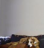 在长沙发的狗在有圣诞树集合和白色墙壁的舒适屋子里 库存图片
