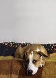 在长沙发的狗在有圣诞树集合和白色墙壁的舒适屋子里 免版税库存图片