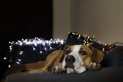 在长沙发的狗在有圣诞树集合的屋子里 免版税库存照片