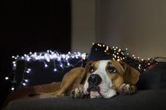 在长沙发的狗在有查寻圣诞树的集合的舒适屋子里 免版税库存图片
