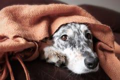 在长沙发的狗在毯子下 免版税库存照片