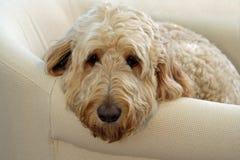 在长沙发的狗 库存图片
