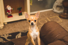 在长沙发的逗人喜爱的奇瓦瓦狗 免版税库存照片