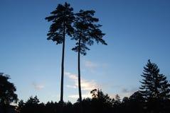 在长白山的秀丽杉木 库存照片