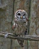 在长的分支的条纹猫头鹰 免版税库存图片