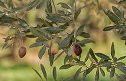在长的稀薄的分支的绿橄榄 库存图片