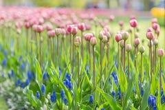 在长的茎背景的桃红色郁金香 选择聚焦 免版税图库摄影