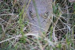 在长的草的小鳄鱼 库存图片