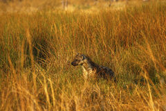 在长的草的被察觉的鬣狗 免版税图库摄影