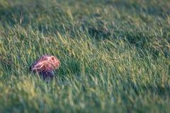 在长的草的野兔 免版税库存图片