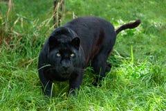 在长的草的黑色豹子狩猎 免版税库存照片