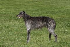 在长的草的Deerhound 免版税图库摄影