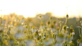 在长的被偷偷靠近的头花开花的芳香群的母菊属chamomille在阳光的