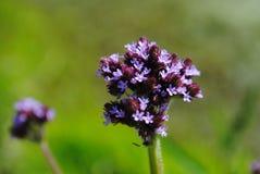 在长的词根的紫色花束 图库摄影