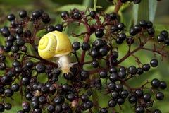 在长辈的黄色蜗牛 免版税图库摄影