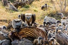 在长颈鹿骨骼的鹰 免版税库存图片
